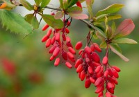La Berbérine, un médicament efficace pour quel traitement?